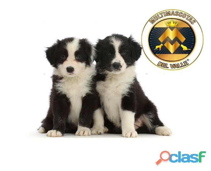 Border Collie, maravillosos cachorros de raza pura