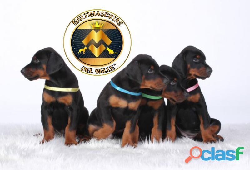Espectaculares cachorritos Doberman disponibles