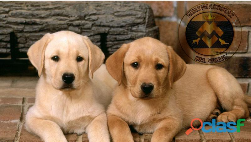 Increiblemente hermosos Labradores, no te quedes sin el tuyo