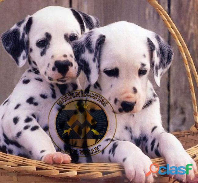 Precisos Dalmatas, cachorros de 50 días disponibles
