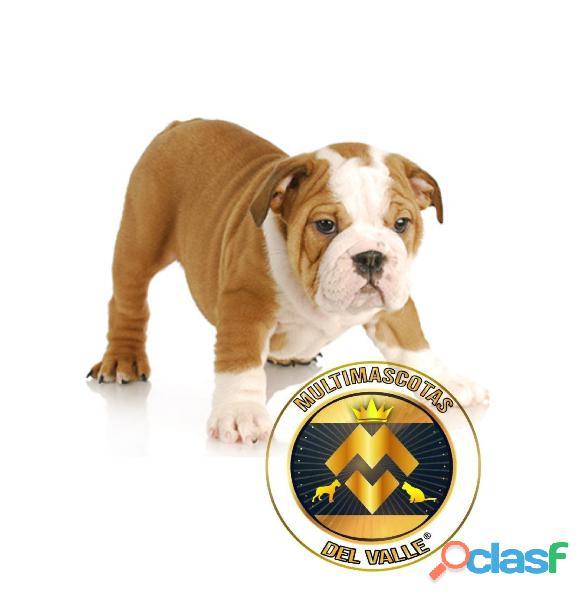 Tiernos y divinos cachorros Bulldog Ingles tradiciones disponibles