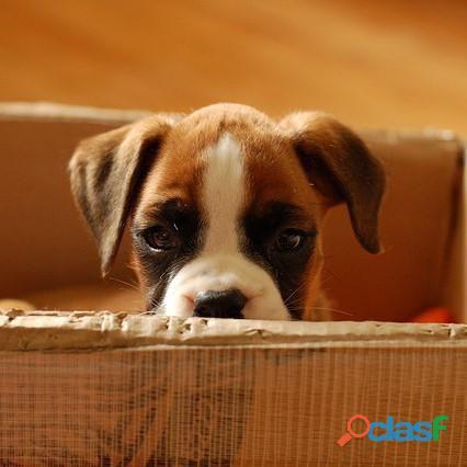 Disponibles tiernos cachorritos Boxer disponibles