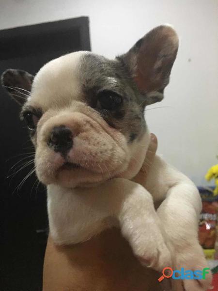 Maravillosos cachorritos Bulldog Francés disponibles