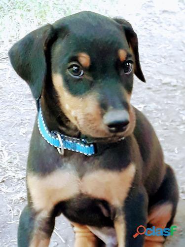 Pequeños cachorros Doberman de alta genética disponibles