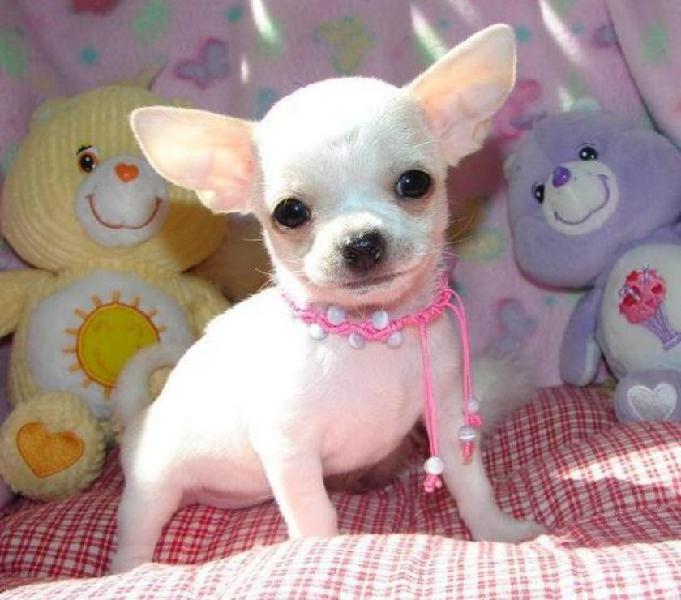 Hermosos y muy juguetones cachorros chihuahuas
