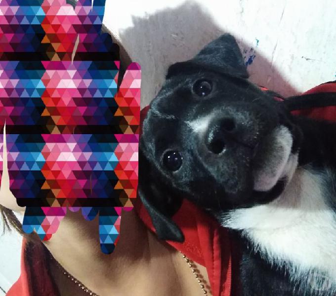 Se da en adopción perrito de 3 meses