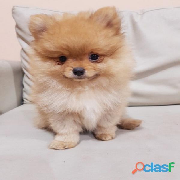 Lindos Pomerania Mini Cachorros