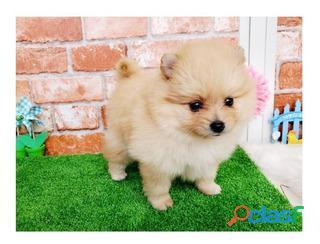 Lindos Pomerania Mini Cachorros 1