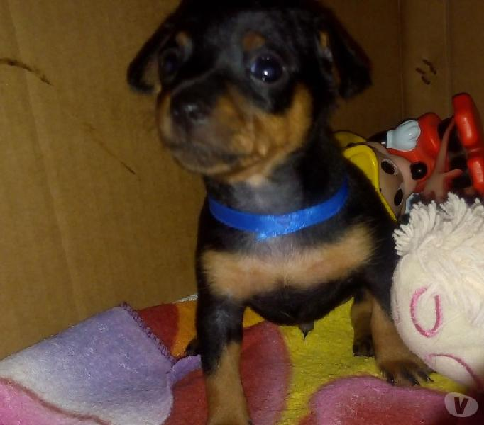 Cachorro Pincher chihuahua