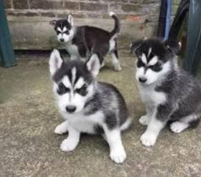 husky lobo siberiano cachorros estupendo