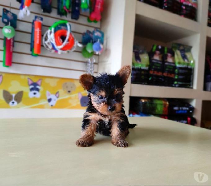 Lindos cachorros yorkshire terrier