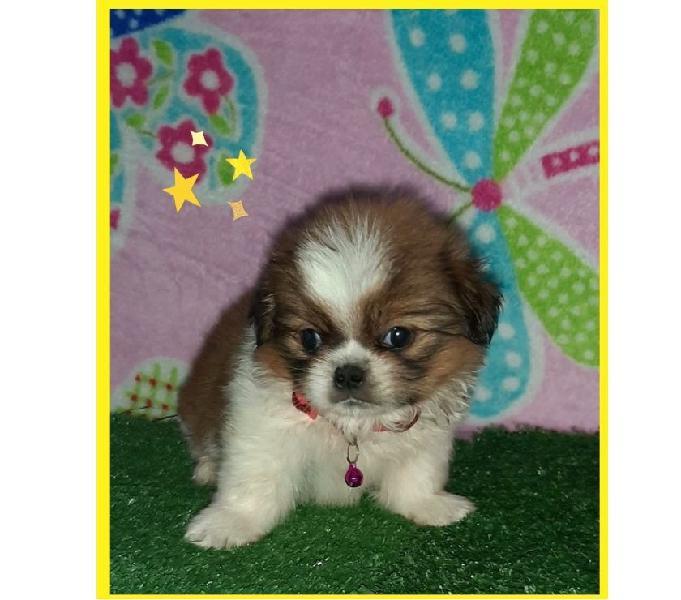 Shitzu miniatura excelentes cachorros