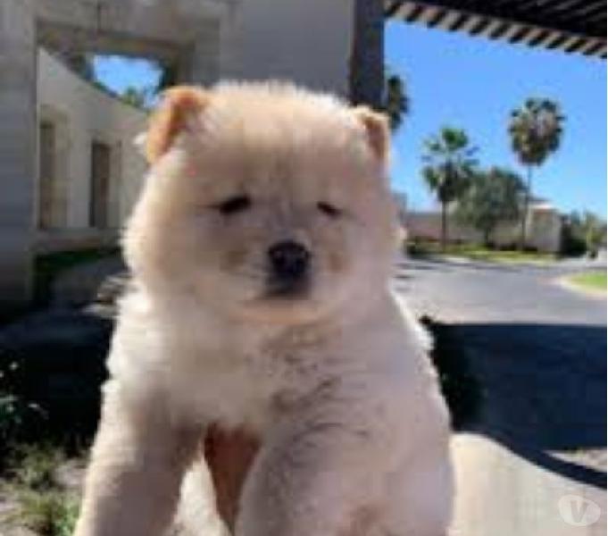 Chow chow estupendos cachorros de apariencia increíble
