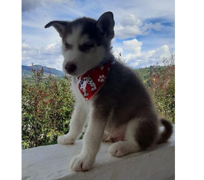 Disponibles Lobo Siberiano Medellin Cachorros