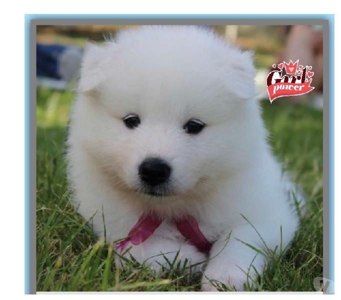 Disponibles Samoyedo Cachorros Lindos