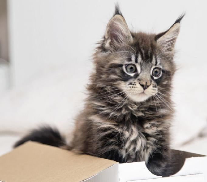 Lindos Gatos Maine Coon Cat Machos