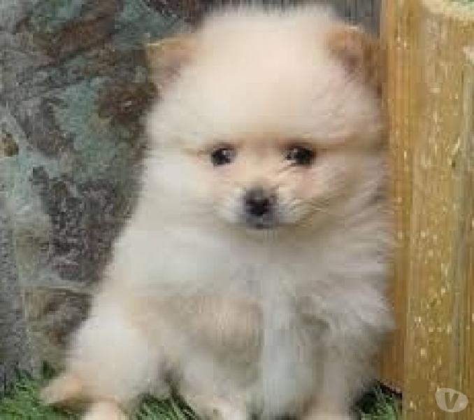 Pomeranias lulus disponibles cachorros super pequeño