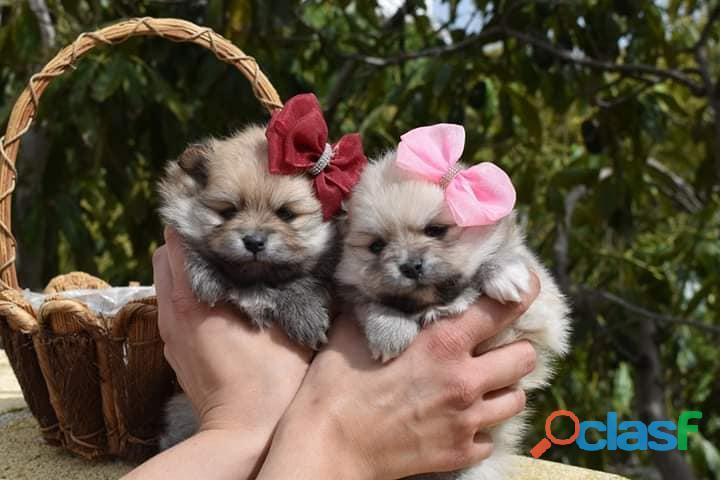 Pomerania Únicos Cachorros Pequeños 1