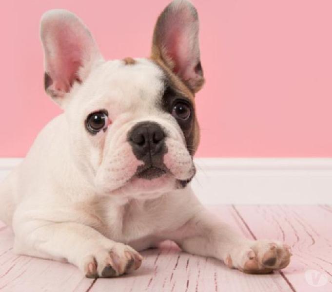 Bulldog frances en la ciudad de cali con envio nacional