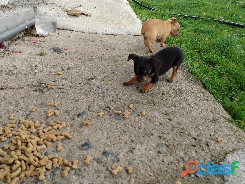 Venta de perros pinchers 1